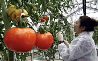 Gen dizilimiyle oynanmış domatesler satışa sunuldu! Bu domates tansiyonu düşürecek